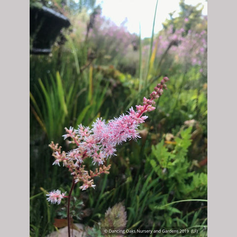 Astilbe 'Delft Lace', False Spirea or False Goat's Beard ~ Dancing Oaks Nursery and Gardens