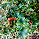 Perennials - Desfontainia spinosa, Chilean Holly - Dancing Oaks Nursery