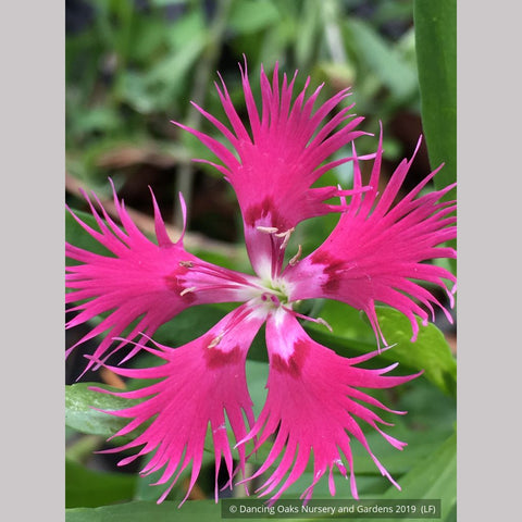 Perennials ~ Dianthus superbus var. longicalycinus, Fringed Pink ~ Dancing Oaks Nursery and Gardens ~ Retail Nursery ~ Mail Order Nursery