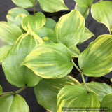Perennials ~ Disporum smilacinum 'Kino Tsukasa', Fairy Lantern ~ Dancing Oaks Nursery and Gardens ~ Retail Nursery ~ Mail Order Nursery