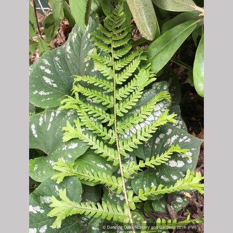 Ferns ~ Dryopteris affinis 'Polydactyla Dadds', Dadds Crested Male Fern ~ Dancing Oaks Nursery and Gardens