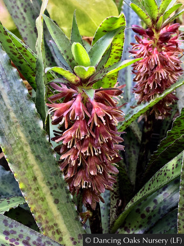 Bulbs & Tubers ~ Eucomis Van der Merwei, Pineapple Lily/Spotted Leaf Eucomis ~ Dancing Oaks Nursery and Gardens ~ Retail Nursery ~ Mail Order Nursery
