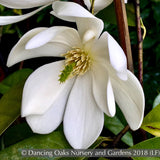 Trees ~ Michelia x 'MicJUR02' Fairy Magnolia Cream®, Fairy Magnolia ~ Dancing Oaks Nursery and Gardens ~ Retail Nursery ~ Mail Order Nursery