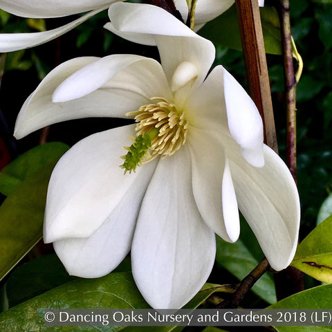 Trees ~ Michelia x 'MicJUR02' Fairy Magnolia Cream®, Fairy Magnolia ~ Dancing Oaks Nursery