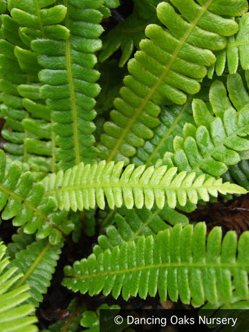 Ferns ~ Blechnum spicant, Deer Fern ~ Dancing Oaks Nursery