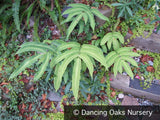 Ferns ~ Dryopteris sieboldii, Japanese Wood Fern ~ Dancing Oaks Nursery and Gardens ~ Retail Nursery ~ Mail Order Nursery