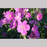 Perennials ~ Geranium oreganum, Native Geranium ~ Dancing Oaks Nursery and Gardens ~ Retail Nursery ~ Mail Order Nursery