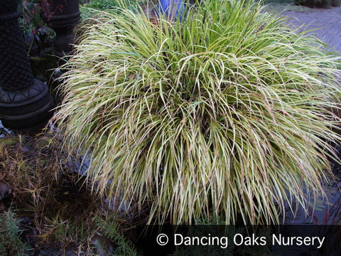Grasses ~ Acorus gramineus 'Ogon', Variegated Sweet Flag ~ Dancing Oaks Nursery