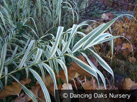 Grasses ~ Arundo donax var. 'Versicolor', Giant Reed Grass ~ Dancing Oaks Nursery and Gardens ~ Retail Nursery ~ Mail Order Nursery