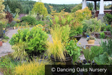 Grasses ~ Carex elata 'Bowles Golden', Bowles Golden Sedge ~ Dancing Oaks Nursery