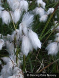 Grasses ~ Eriophorum angustifolium, Cotton Grass ~ Dancing Oaks Nursery and Gardens ~ Retail Nursery ~ Mail Order Nursery