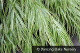 Grasses ~ Hakonechloa macra 'Albo Striata', Japanese Forest Grass ~ Dancing Oaks Nursery