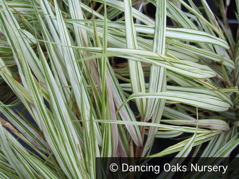 Grasses ~ Hakonechloa macra 'Fubuki' PPAF, Japanese Forest Grass ~ Dancing Oaks Nursery and Gardens ~ Retail Nursery ~ Mail Order Nursery