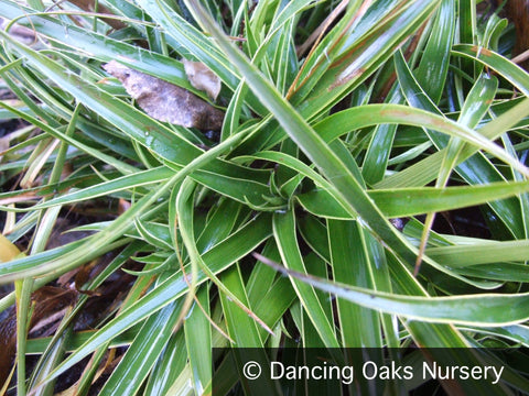 Grasses ~ Luzula sylvatica 'Marginata', Variegated Wood Rush ~ Dancing Oaks Nursery