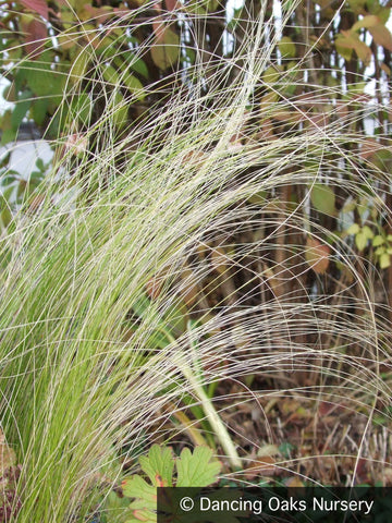Grasses ~ Nassella tenuissima (syn Stipa tenuissima), Mexican Feather Grass ~ Dancing Oaks Nursery and Gardens ~ Retail Nursery ~ Mail Order Nursery