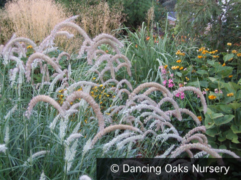 Grasses ~ Pennisetum orientale 'Tall Tails', Fountain Grass ~ Dancing Oaks Nursery