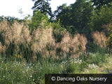 Grasses ~ Stipa gigantea, Giant Feather Grass ~ Dancing Oaks Nursery and Gardens ~ Retail Nursery ~ Mail Order Nursery