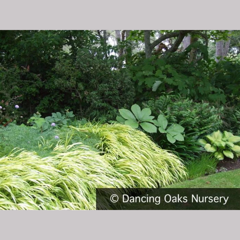 Grasses ~ Hakonechloa macra 'Aureola', Japanese Forest Grass ~ Dancing Oaks Nursery and Gardens ~ Retail Nursery ~ Mail Order Nursery