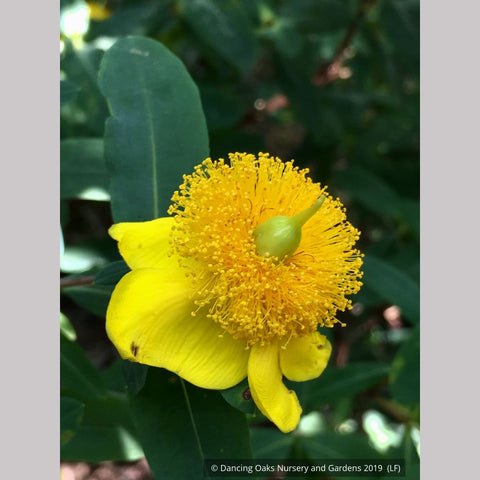 Shrubs ~ Hypericum frondosum 'Sunburst', Sunburst St. Johnswort ~ Dancing Oaks Nursery and Gardens