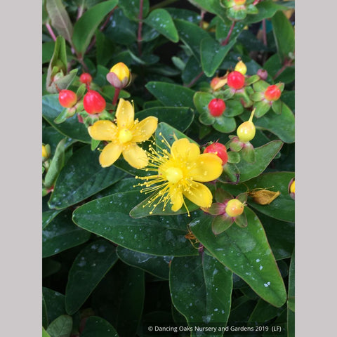 Shrubs ~ Hypericum x inodorum 'Magical Triumph', Magical Triumph St. John's Wort ~ Dancing Oaks Nursery and Gardens ~ Retail Nursery ~ Mail Order Nursery
