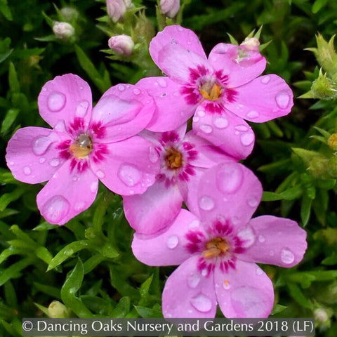 Perennials ~ Phlox 'Star of Heaven', Moss Phlox ~ Dancing Oaks Nursery