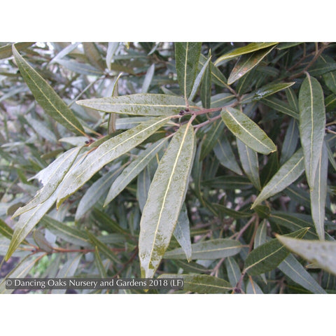 Trees ~ Quercus hypoleucoides, Silverleaf Oak ~ Dancing Oaks Nursery and Gardens ~ Retail Nursery ~ Mail Order Nursery