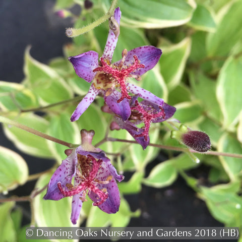 Perennials ~ Tricyrtis formosana 'Autumn Glow', Toad Lily ~ Dancing Oaks Nursery and Gardens ~ Retail Nursery ~ Mail Order Nursery