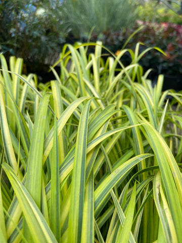 Grasses ~ Acorus gramineus 'Ogon', Variegated Sweet Flag ~ Dancing Oaks Nursery and Gardens ~ Retail Nursery ~ Mail Order Nursery