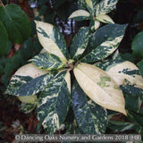 Shrubs ~ Clethra barbinervis 'Variegata', Variegated Japanese Clethra ~ Dancing Oaks Nursery and Gardens ~ Retail Nursery ~ Mail Order Nursery