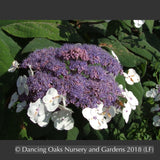 Shrubs ~ Hydrangea aspera ssp sargentiana ~ Dancing Oaks Nursery and Gardens ~ Retail Nursery ~ Mail Order Nursery