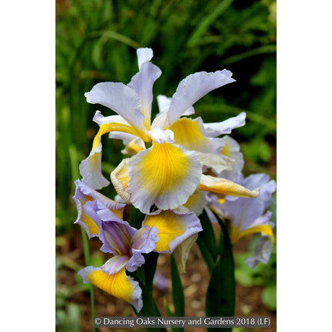 Perennials ~ Iris spuria 'Missouri Springs', Spuria Iris ~ Dancing Oaks Nursery and Gardens ~ Retail Nursery ~ Mail Order Nursery