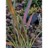Grasses ~ Phormium 'Jester', New Zealand Flax ~ Dancing Oaks Nursery and Gardens