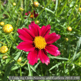 Perennials ~ Coreopsis 'Mercury Rising' PP24689 Big Bang™ Series, Tickseed ~ Dancing Oaks Nursery