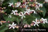 Trees ~ Clerodendrum trichotomum 'Carnival', Variegated Glory Bower ~ Dancing Oaks Nursery and Gardens ~ Retail Nursery ~ Mail Order Nursery