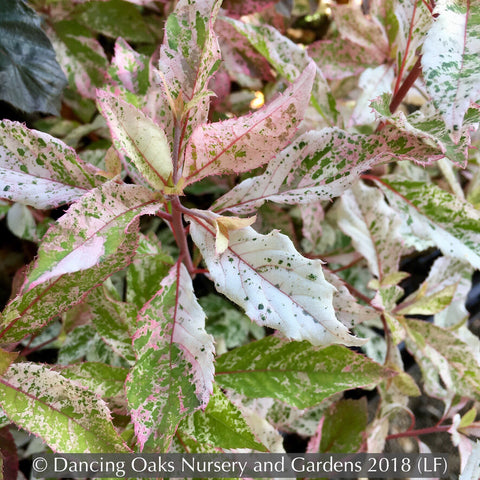 Shrubs ~ Clethra barbinervis 'Takeda Nishiki' (FIRST SNOW®) ~ Dancing Oaks Nursery