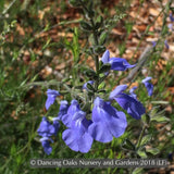 Perennials ~ Salvia repens (Upright form) ~ Dancing Oaks Nursery and Gardens ~ Retail Nursery ~ Mail Order Nursery