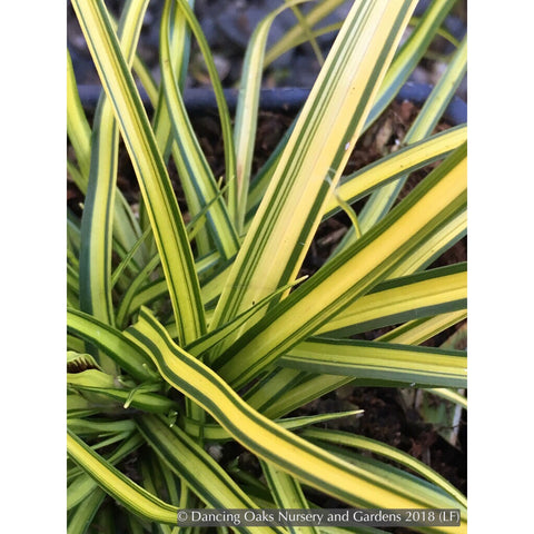 Grasses ~ Carex oshimensis EverColor® 'Eversheen', Eversheen Sedge ~ Dancing Oaks Nursery and Gardens ~ Retail Nursery ~ Mail Order Nursery