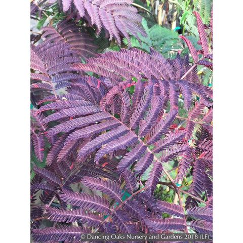 Trees ~ Albizia julibrissin Merlot Majik™, Mimosa or Silk Tree ~ Dancing Oaks Nursery and Gardens ~ Retail Nursery ~ Mail Order Nursery