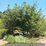 Shrubs ~ Quercus x wislizenii, Hybrid Interior Live Oak ~ Dancing Oaks Nursery