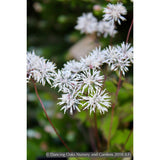 Perennials ~ Thalictrum filamentosum, Meadow Rue ~ Dancing Oaks Nursery