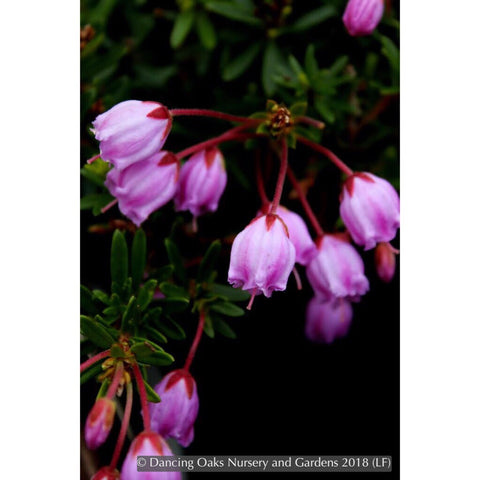 Shrubs ~ x Phylliopsis 'Sugar Plum' ~ Dancing Oaks Nursery and Gardens ~ Retail Nursery ~ Mail Order Nursery