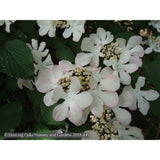 Shrubs ~ Viburnum plicatum f. tomentosum 'Pink Beauty', Pink Beauty Japanese Snowball ~ Dancing Oaks Nursery and Gardens ~ Retail Nursery ~ Mail Order Nursery
