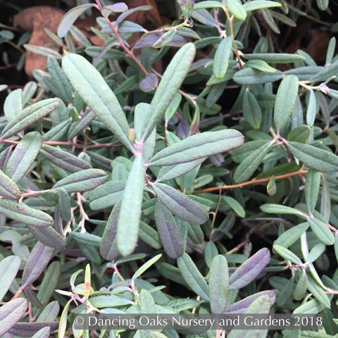 Shrubs ~ Andromeda polifolia 'Blue Ice', Blue Ice Bog Rosemary ~ Dancing Oaks Nursery and Gardens ~ Retail Nursery ~ Mail Order Nursery