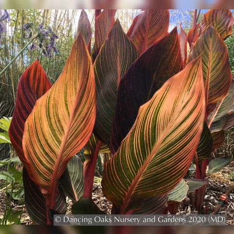Bulbs & Tubers ~ Canna 'Phasion' (syn. C. 'Durban', C., 'Tropicana'), Variegated Canna Lily ~ Dancing Oaks Nursery and Gardens ~ Retail Nursery ~ Mail Order Nursery