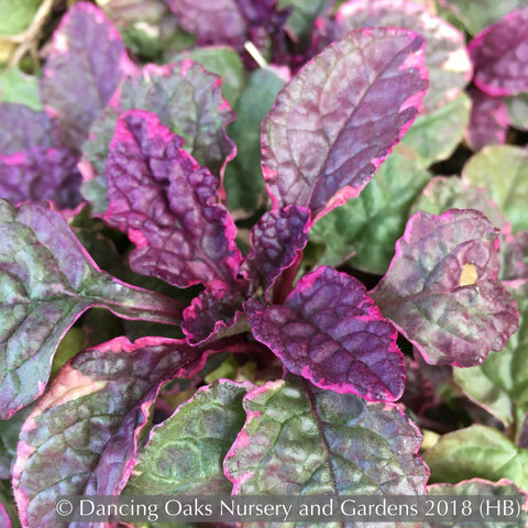 Ground Covers ~ Ajuga reptans 'Burgundy Glow', Bugleweed ~ Dancing Oaks Nursery