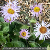 Perennials ~ Erigeron pulchellus 'Meadow Muffin' ~ Dancing Oaks Nursery
