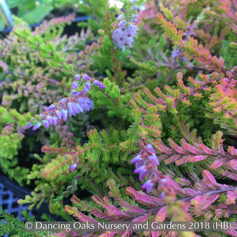 Shrubs ~ Calluna vulgaris 'Wickwar Flame', Summer Flowering Heather ~ Dancing Oaks Nursery and Gardens ~ Retail Nursery ~ Mail Order Nursery