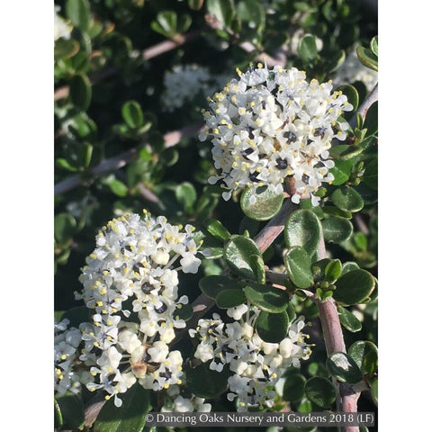 Shrubs ~ Ceanothus cuneatus var. ramulosus 'Rodeo Lagoon', California Lilac ~ Dancing Oaks Nursery and Gardens