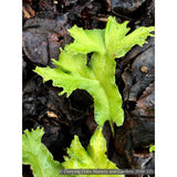 Ferns ~ Asplenium (syn. Phyllitis) scolopendrium 'Furcatum', Forked Hart's Tongue Fern ~ Dancing Oaks Nursery and Gardens ~ Retail Nursery ~ Mail Order Nursery