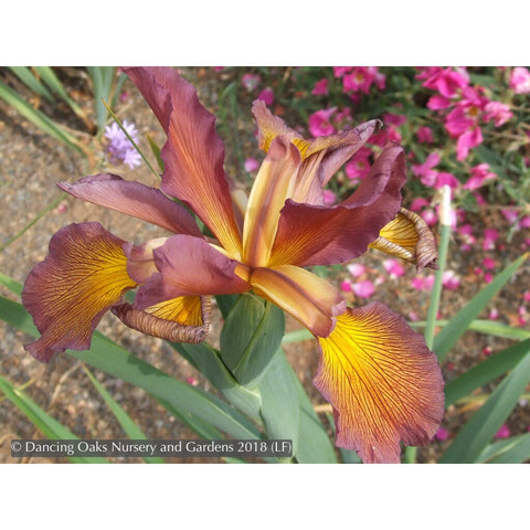 Perennials ~ Iris spuria 'Salmon Sunset', Spuria Iris ~ Dancing Oaks Nursery and Gardens ~ Retail Nursery ~ Mail Order Nursery